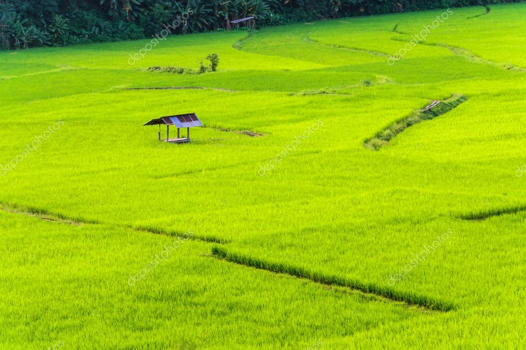 rice fields with small cottage on the hill
