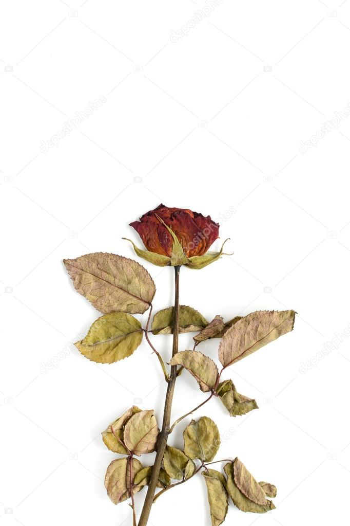 Single dried rose flower isolated on white
