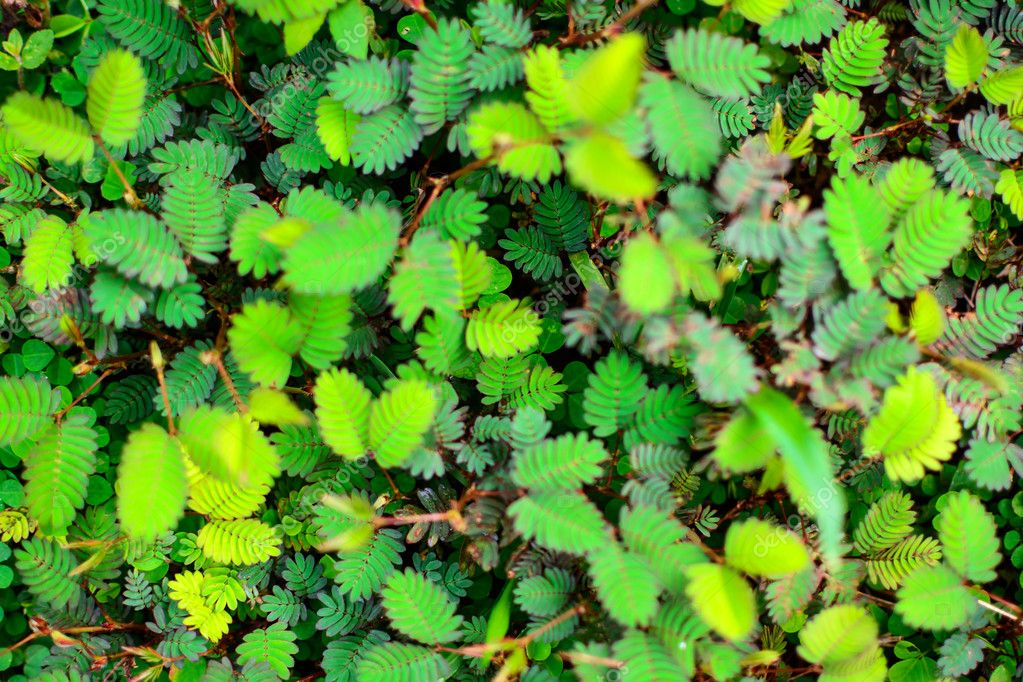 sensitive plant background