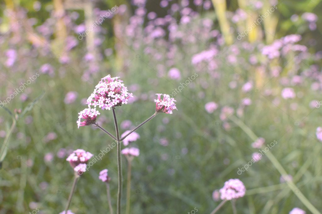 Beautiful Blooming Verbena field, Purple flower