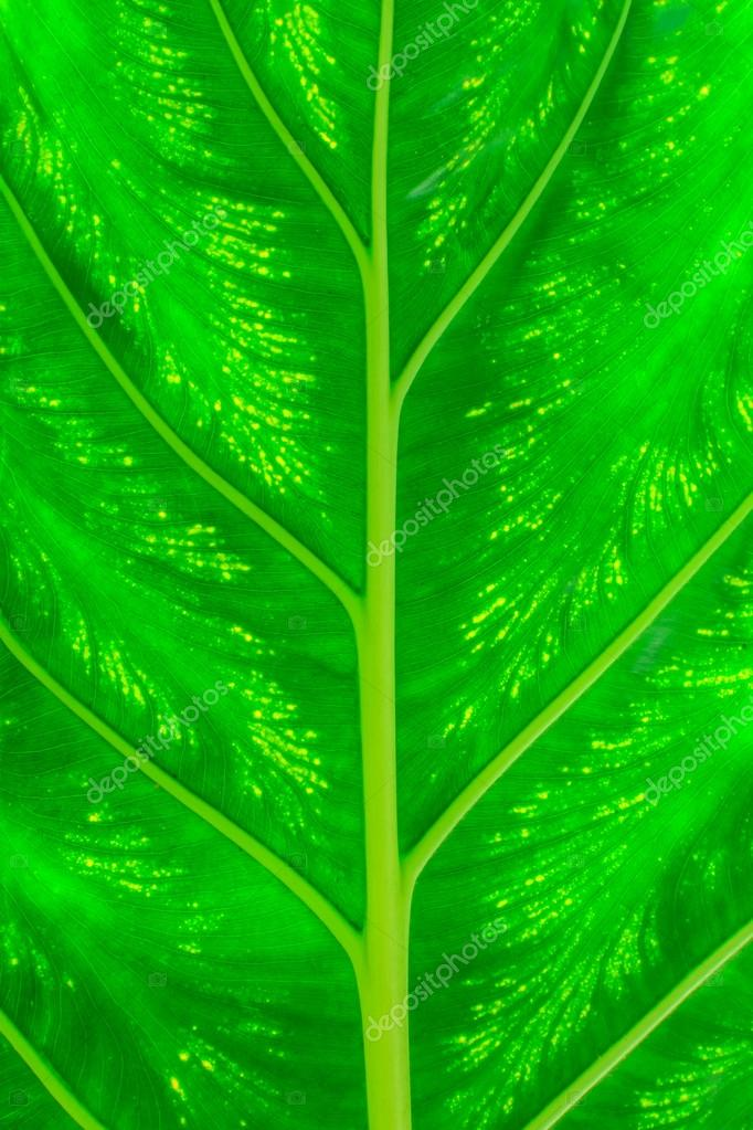 Texture of a green leaf  background