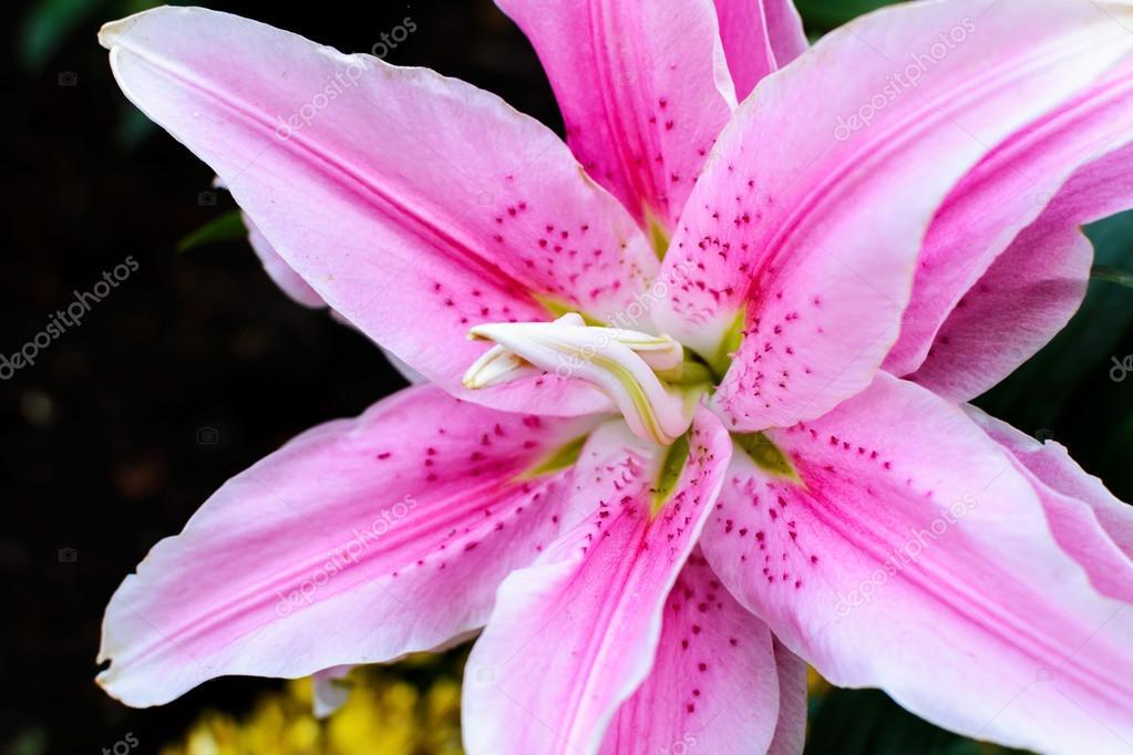 Lillium Oriental Rose Lily Belonica