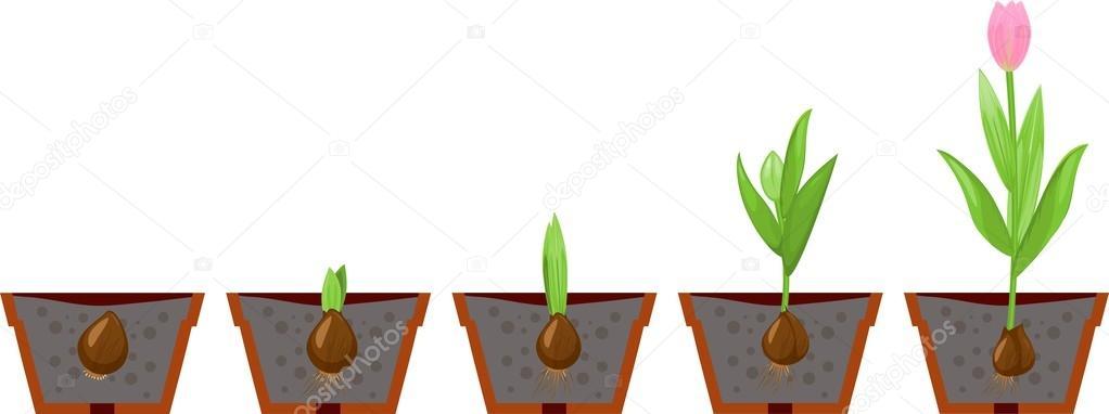 Схема роста цветов для детей в картинках