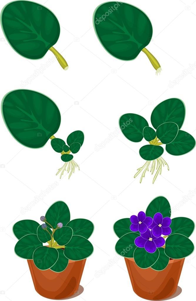 Vegetative reproduction african violets (saintpaulia) home plant