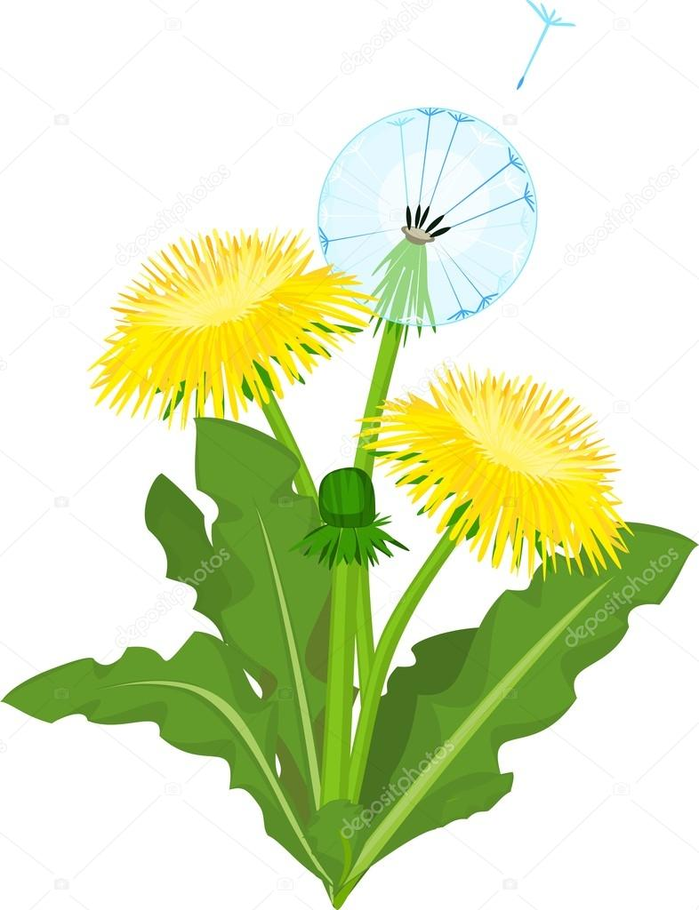 Dandelion flowers on white background