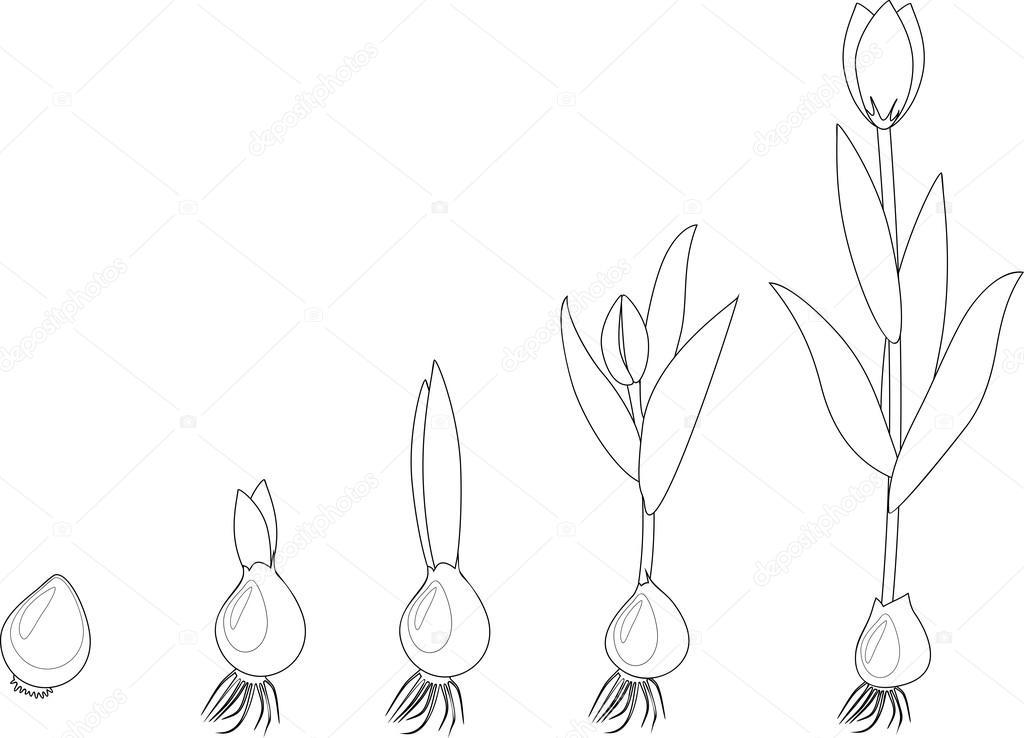 Etapa De Crecimiento De Tulipán Para Colorear Archivo