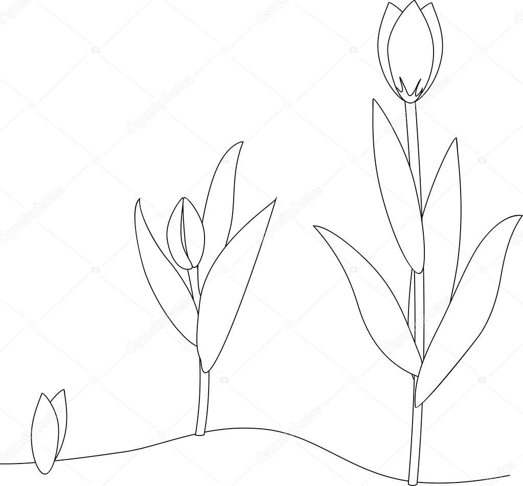 Lale Büyüme Aşamasında Boyama Stok Vektör Mariaflaya 111416294