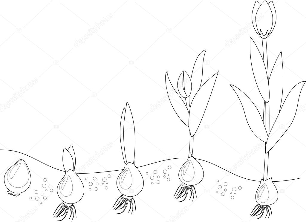 Fase Di Crescita Del Tulipano Disegni Da Colorare Vettoriali