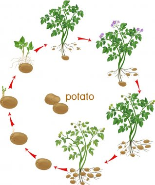 Potato plant growth cycle