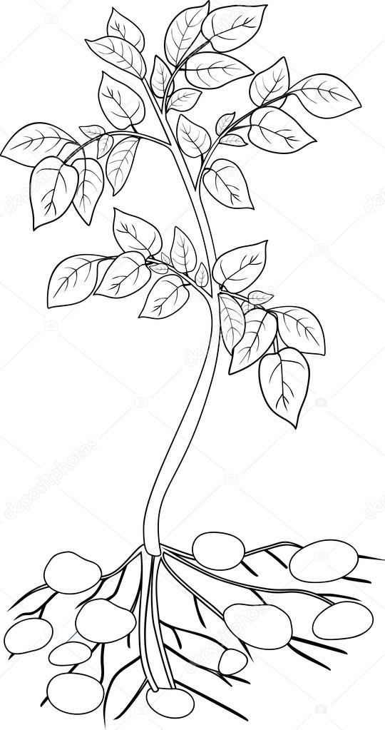 Fotos planta colorear colorear con planta de papa for Plantas ornamentales para colorear