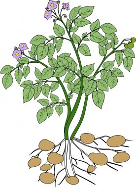 Potato plant with green leaves
