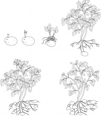 coloring with Potato plant growth cycle