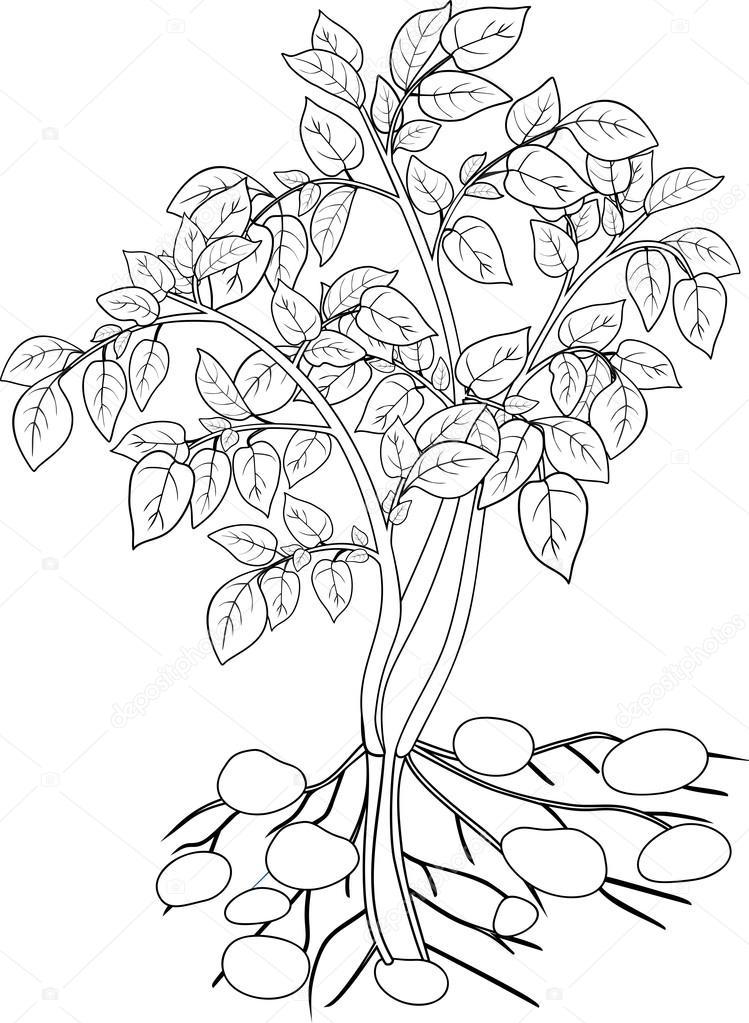 Imágenes: papa tuberculo para colorear | colorear con planta de papa ...