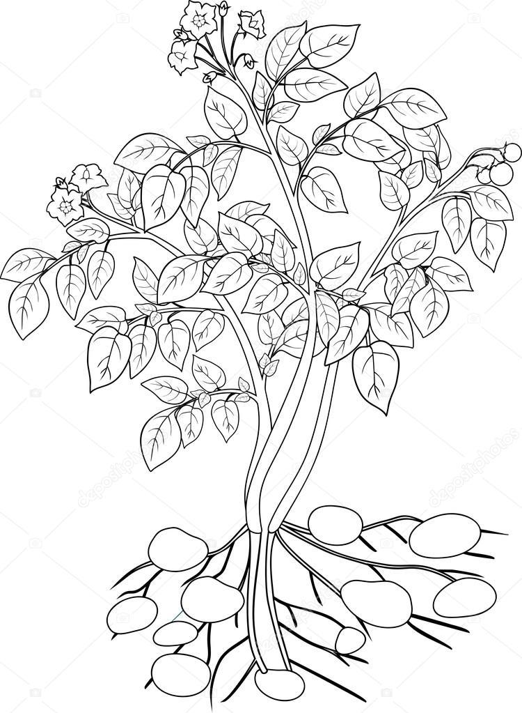 colorear con planta de papa — Archivo Imágenes Vectoriales ...