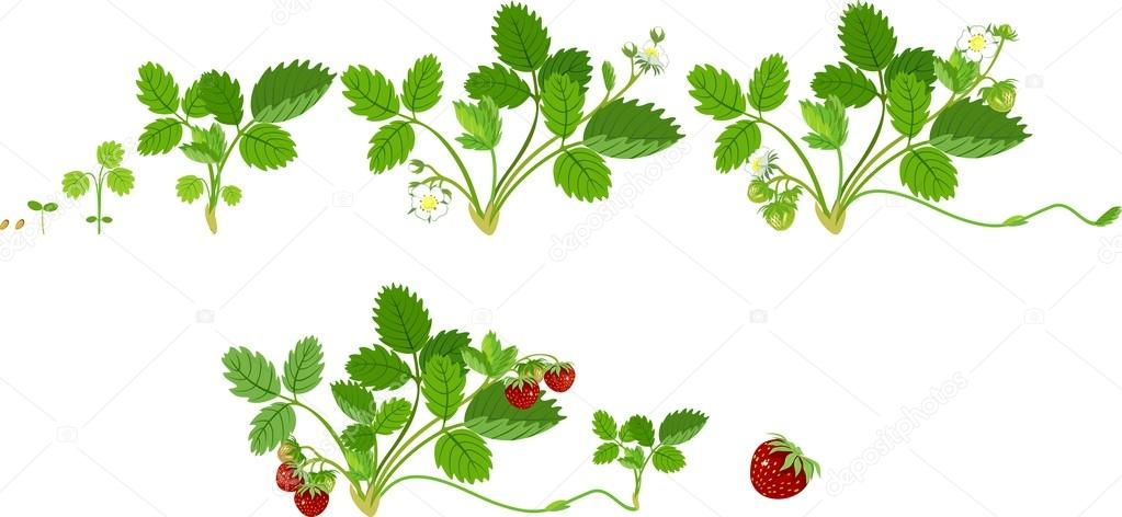 Stock Illustration Growth Stages Of Strawberry Plant on Plant Life Cycle Clip Art
