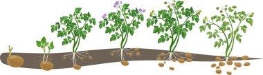 Potato plant growth cycle