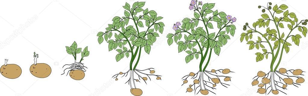 Cycle De Croissance Des Plantes De Pommes De Terre Image