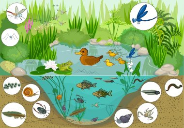 Ecosystem of duck pond stock vector