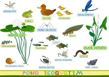 ecosystem of duck pond