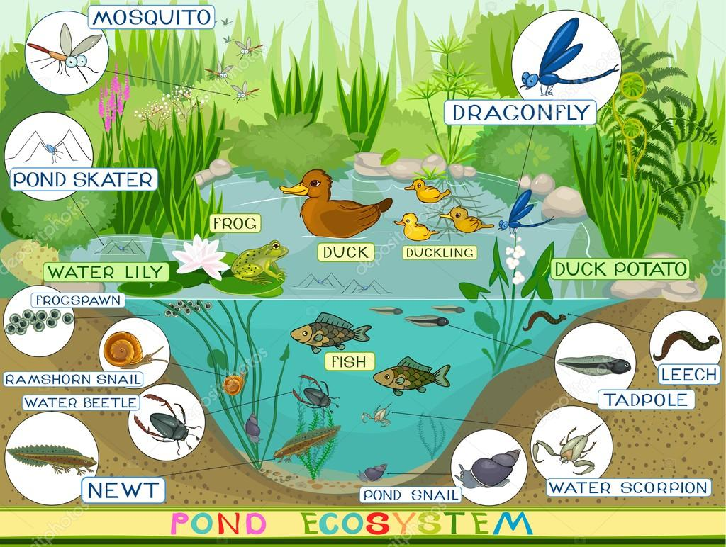 Stock Illustration Ecosystem Of Duck Pond on Kindergarten Worksheet With U