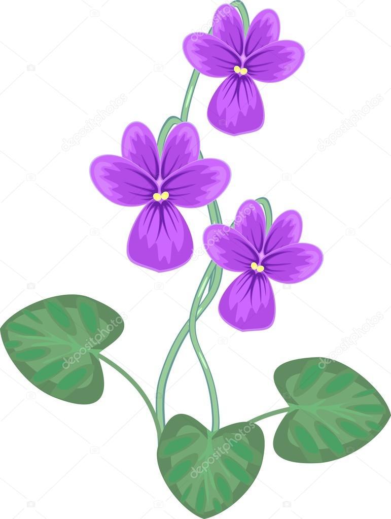 Viola on white background