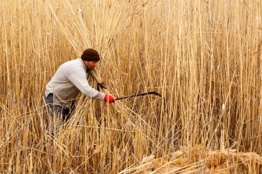 Workers harvest reeds and bulrush from the Lake Eber in Afyon