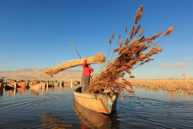 Woman workers harvest reeds