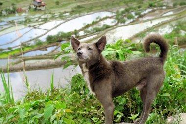 Dog at UNESCO Rice Terraces in Batad, Philippines
