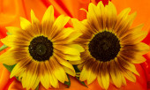 beautiful yellow sunflowers flowers  on bright background and su