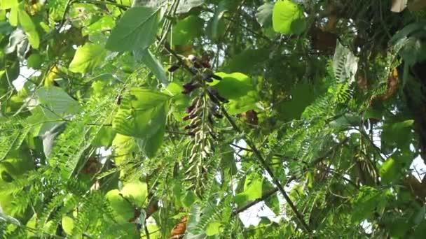 Velvet bean leaves. Indonesian call velvet bean with benguk