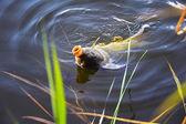 Chytání kaprů návnadu do vody zblízka