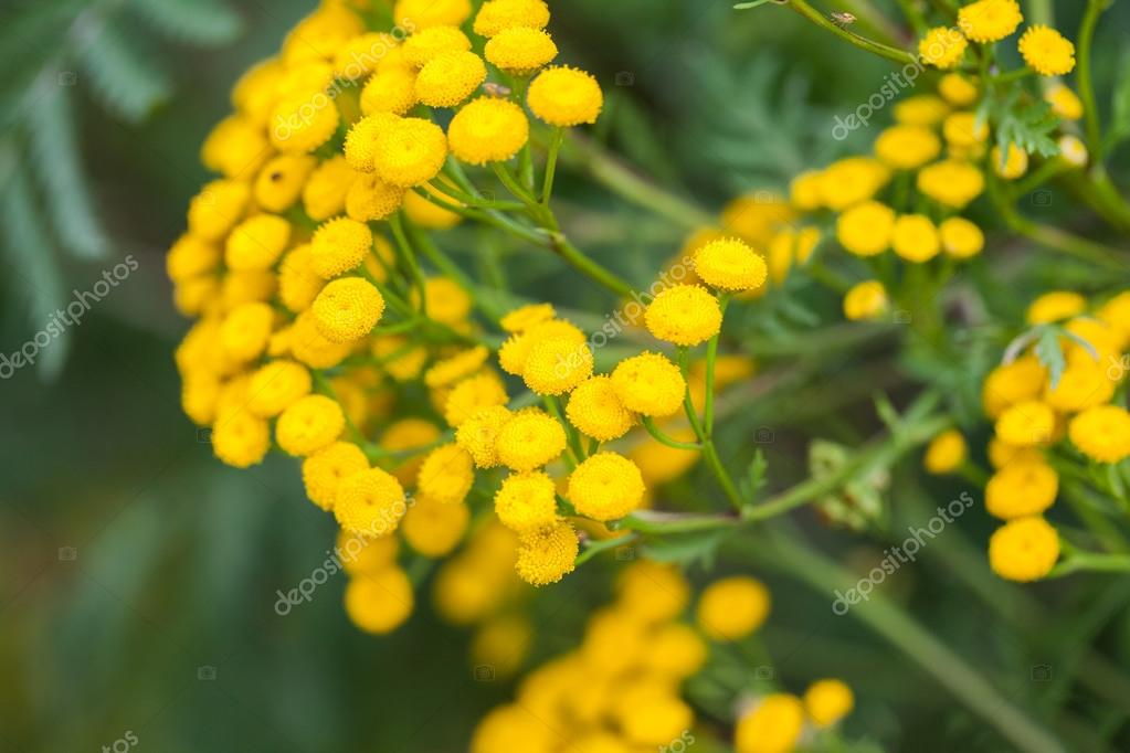 Wild Yellow Flowers And Buds With Natural Background Stock Photo