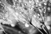 černé a bílé Pampeliška semena s vodou poklesne na přirozená