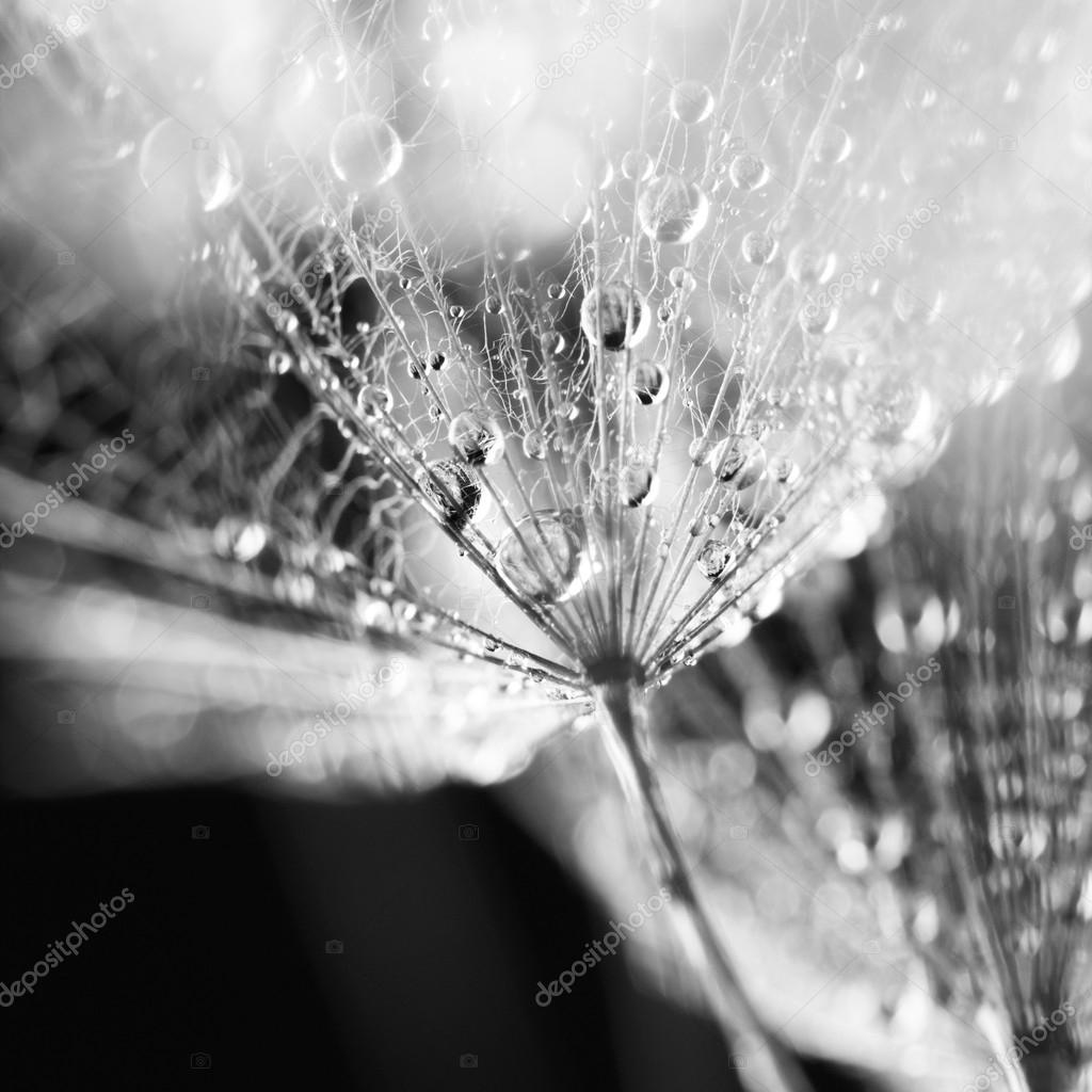 Black and white dandelion seeds with water drops on natural background