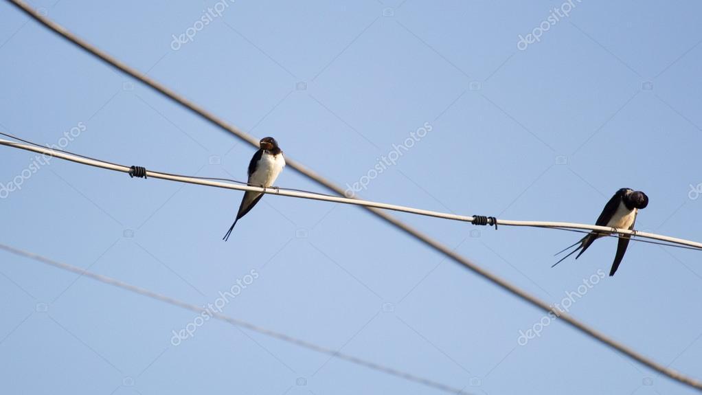 Vögel auf dem Drahtseil zu schlucken — Stockfoto © ileana_bt #68986843