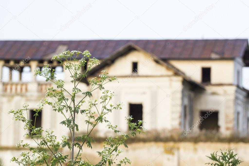 Green wheat field and blue flowers with old, abandoned house in the background