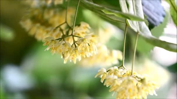 Linden listy a květy se fouká vítr
