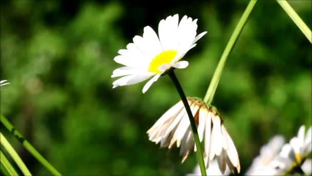 Daisies with wind blowing and sounds from nature