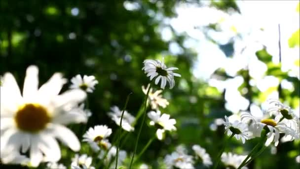 Daisies with wind blowing