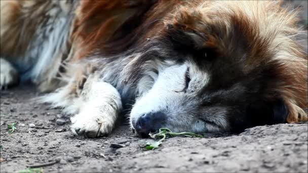 Old and sick dog resting. Sounds from nature