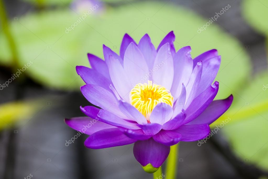 Nymphaea - beautiful water lily from Kew Gardens - Kew's stowaway blues