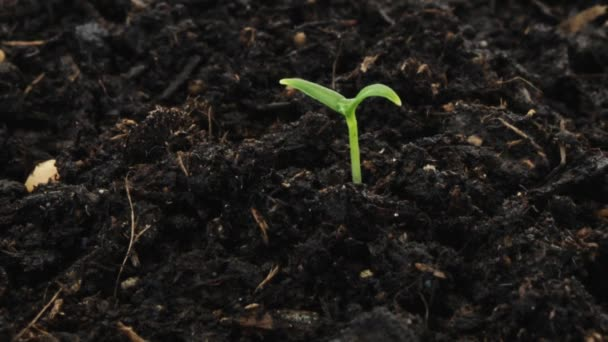 time lapse growing seedling with water drop