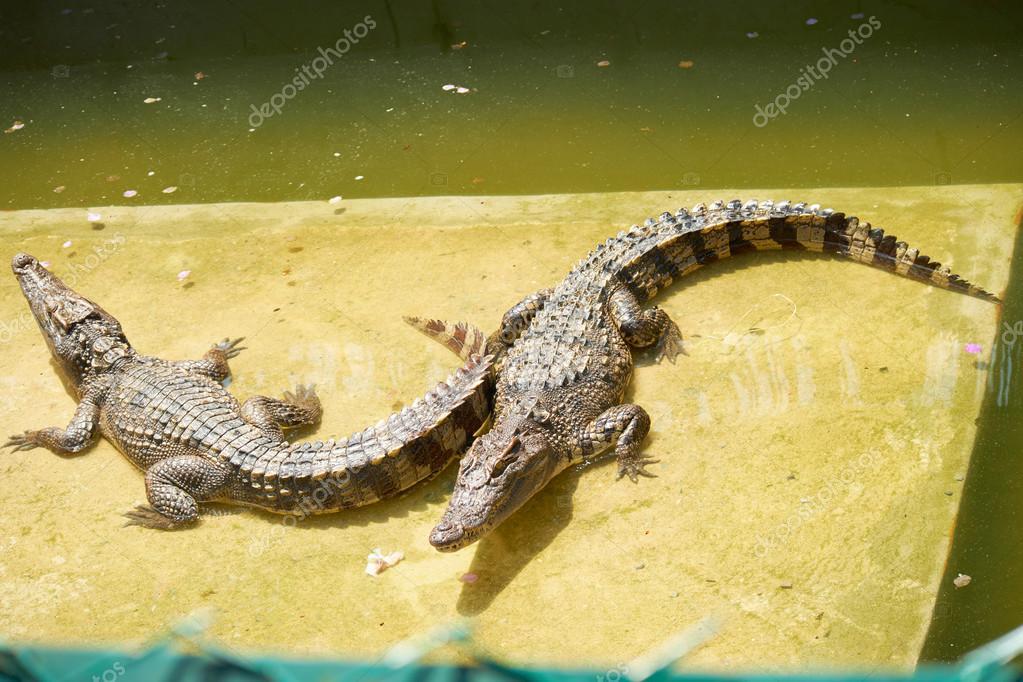 Big crocodiles in Thailand zoo