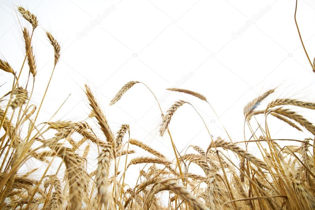 Spikelets of wheat in summer field