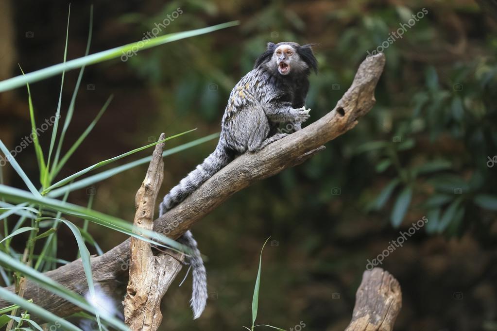 Black tufted-ear marmoset, Callithrix penicillata, Brazil
