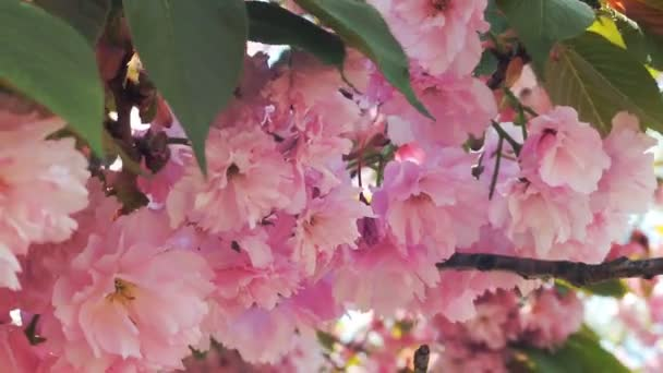 Gyönyörű cseresznye virág vagy a sakura, Sakura virág vagy Cherry Blossom együtt gyönyörű természet háttér, cseresznyevirág virág