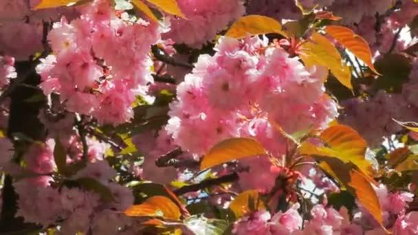 Krásná květina Třešňové květy nebo sakura Sakura květina nebo Cherry Blossom s krásnou přírodní pozadí, třešňový květ