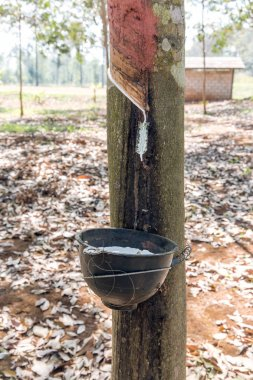 Milky latex extracted from tree