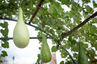 bottle gourd crop in fruiting stage