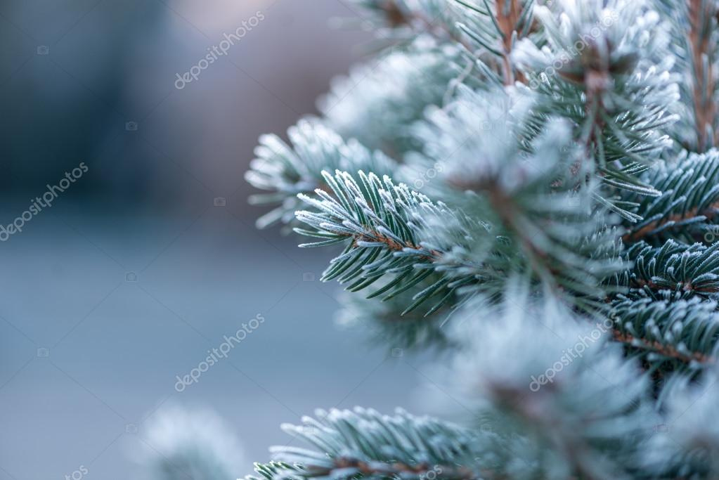 Coniferous coverd with hoarfrost